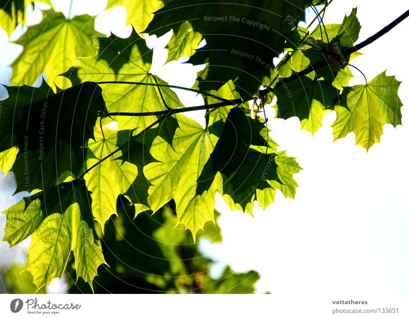 Nature Summer Leaf Jump Maple tree