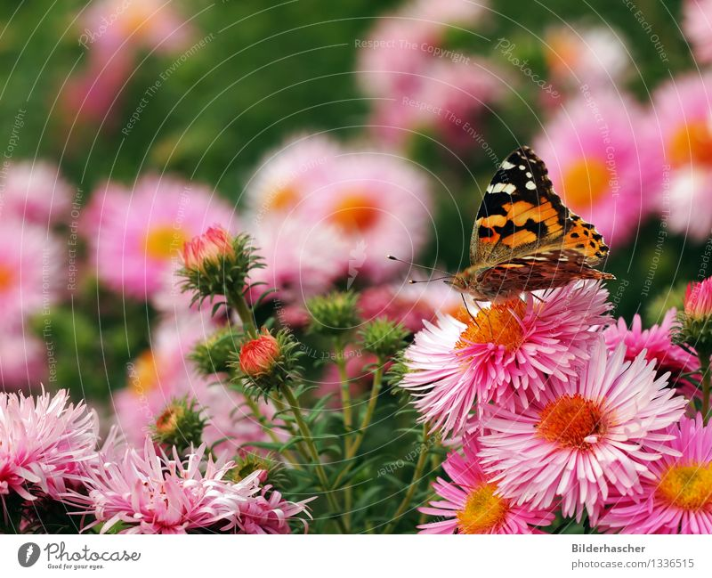 A lady with thistle in a sea of flowers Aster Painted lady Butterfly Browns Insect Wing Feeler Noble butterfly Winter festival Flowering plants Autumn leaves