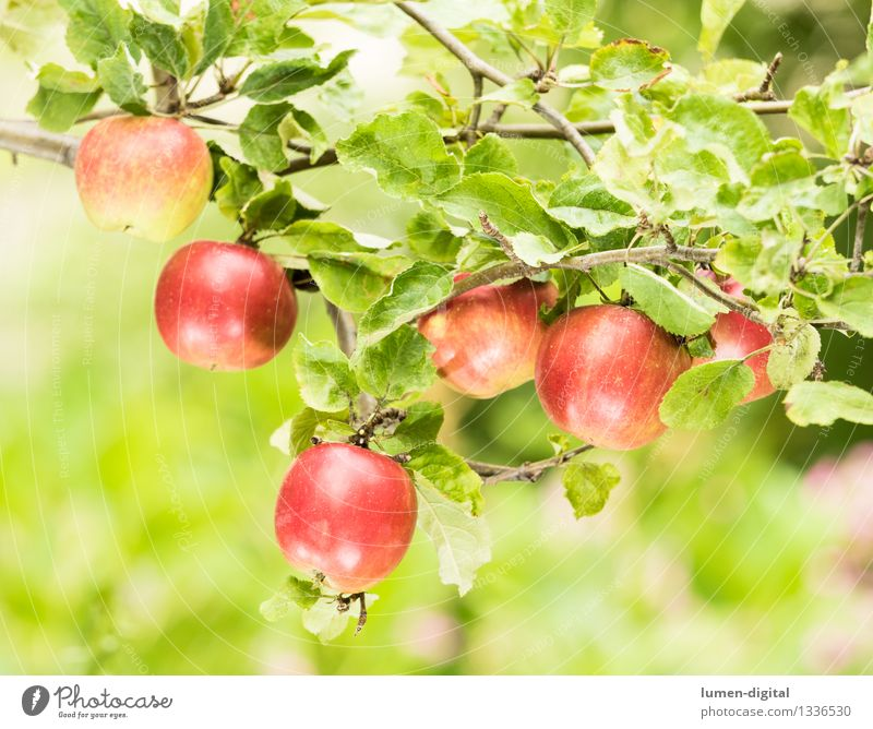 Nature Green Summer Tree Red Leaf Autumn Garden Food Fruit Nutrition Agriculture Delicious Harvest Apple Mature