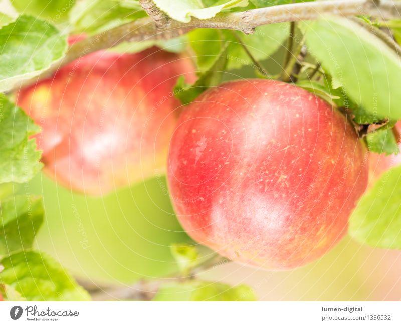 Apples hanging from the tree Food Fruit Nutrition Summer Garden Thanksgiving Agriculture Forestry Nature Autumn Tree Leaf Delicious Juicy Green Red August