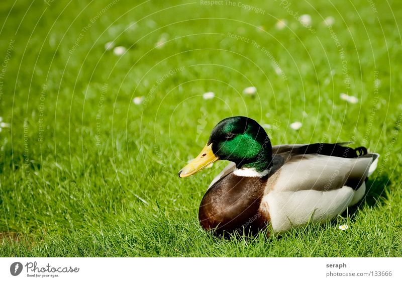 Nature Relaxation Animal Meadow Grass Bird Masculine Wild animal Wing Feather Sleep Pasture Watchfulness Duck Beak Flower meadow