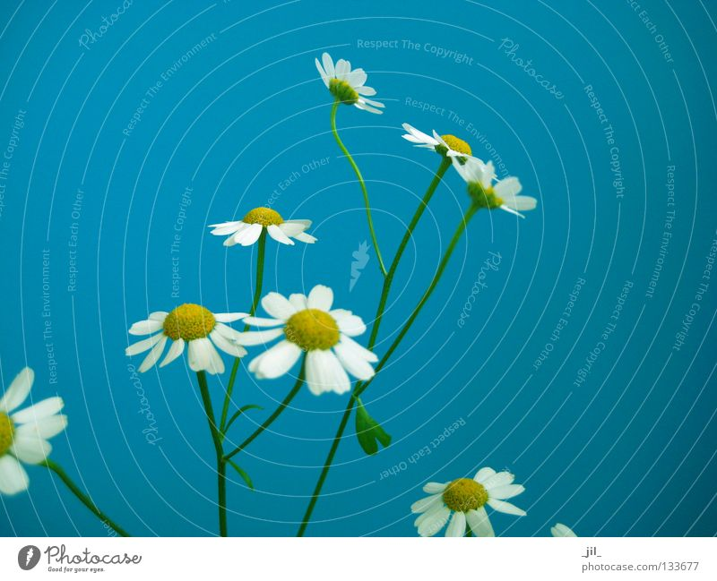 Nature White Flower Green Blue Plant Summer Yellow Spring Contentment Fresh Thin Cute Easy Ease Fine