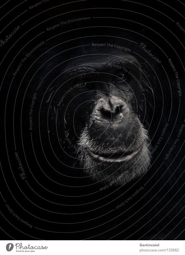 PAN Animal Wild animal Animal face Pelt Dark Black White Emotions Trust Love of animals Wisdom Monkeys Apes Facial expression Expressive Mammal Eyes Nose