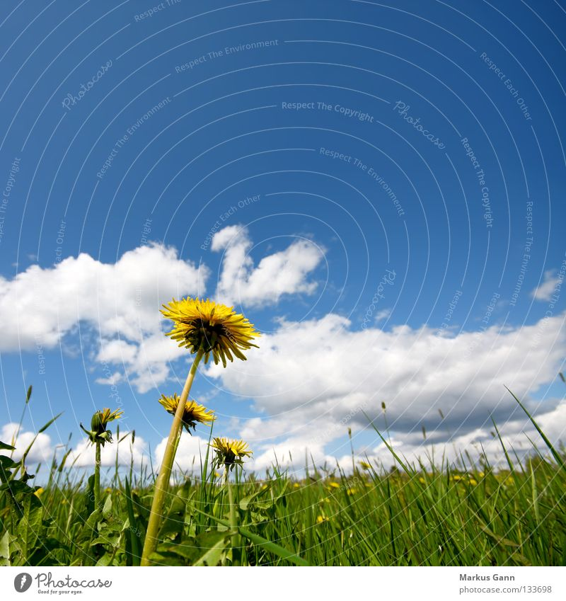 Sky Blue White Green Flower Summer Clouds Yellow Grass Blossom Warmth Spring Fresh Large Physics Blossoming