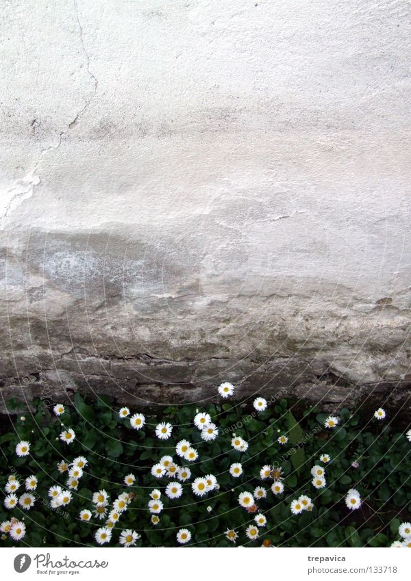 bleed Wall (building) Flower Grass Wet Green White Yellow Spring Meadow Plant Summer May April Beautiful Background picture Sweet Small Wall (barrier) Damp Old
