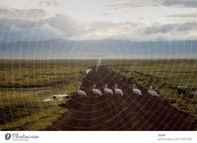 Calm Animal Bird Wild animal Group of animals Attachment Conduct Beak Cross Safari Traverse Pelican Tansania Goose step