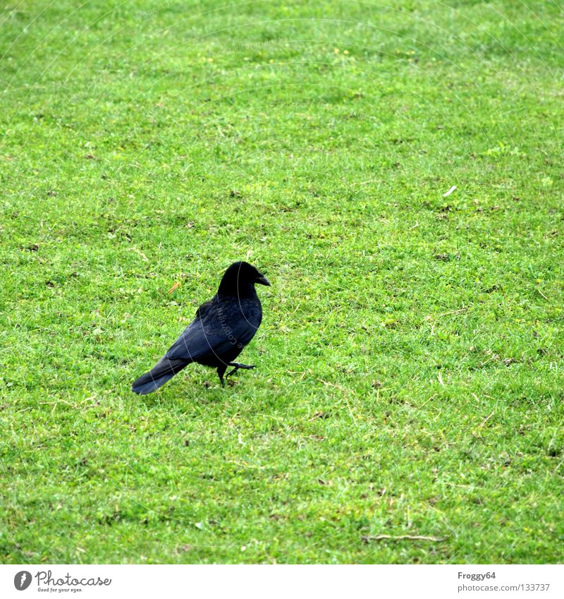 pedestrian Raven birds Bird Beak Grass Green Black Feather Sky Wing Flying Walking Floor covering