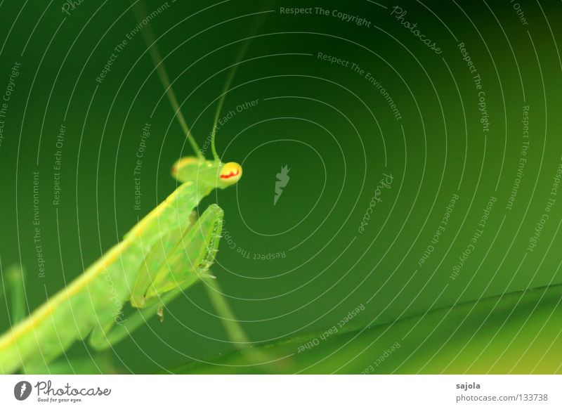 worship or lukewarm position? Animal Yellow Green Red Colour Praying mantis Locust Feeler Legs Eyes Insect Singapore Asia Camouflage Carnivore Triangle Head