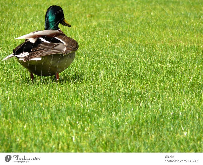 watch my back! Green Meadow Grass Bird Lawn Feather Wing Duck Beak Squeak duck Domestic duck Drake Downy feather Waddle Mallard