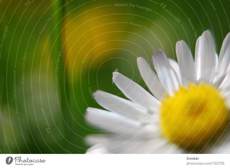 Nature White Flower Green Summer Yellow Meadow Blossom Grass Spring Earth Blossoming Pasture Daisy