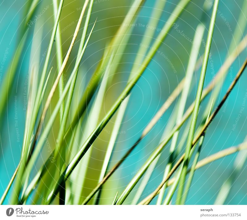 Cane Common Reed Reeds Habitat Juncus Blossom Blossoming Grass Blade of grass Plant Nature wag Environment Environmental protection Sweet grass Coast Lakeside