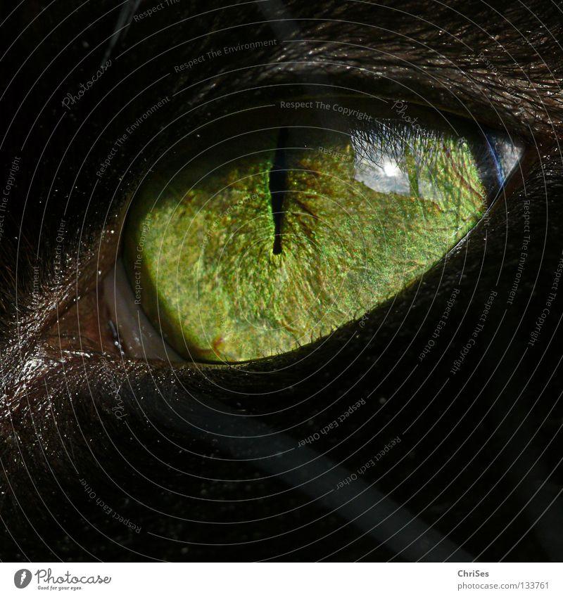 Cat Green Beautiful Animal Black Eyes Observe Mammal Eerie Frontal Delicate Pupil Macro (Extreme close-up) Iris Cat eyes Wild cat