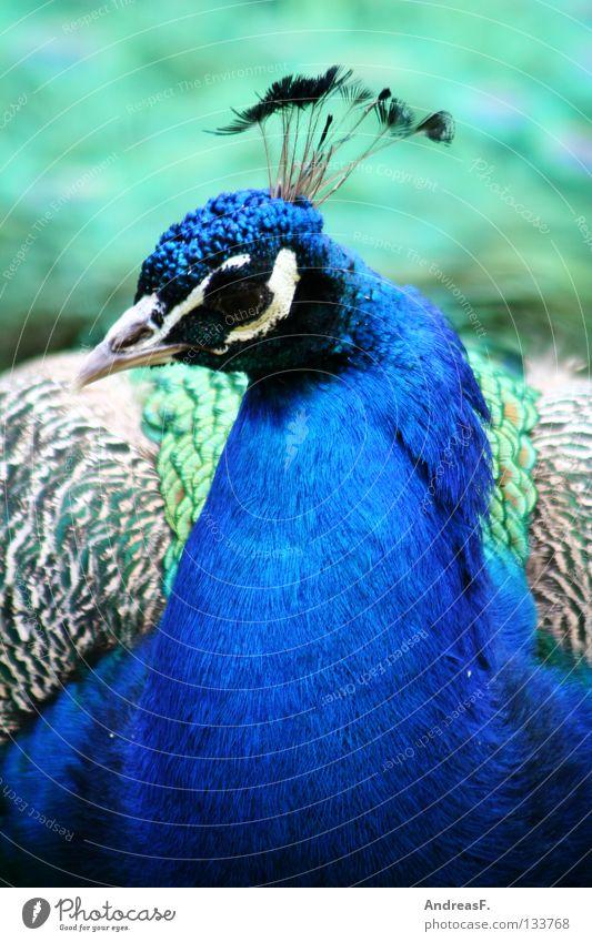 peacock Peacock Bird Animal Animal portrait Feather Beautiful Beak Multicoloured Pheasant Caged bird Characteristic Blue Bright Colours Ultramarine blue