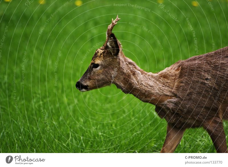 Meadow Fear Pelt Hunting Antlers Mammal Feeble Hunter Timidity Insurance Roe deer Clearing Rutting season District Buck Even-toed ungulate