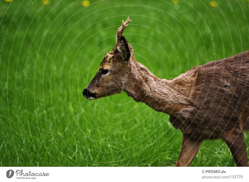 reh Roe deer Buck Even-toed ungulate Antlers Pelt Meadow Clearing Deerstalking Timidity Fear Hunter Stalking Mammal Feeble Capreolus capreolus
