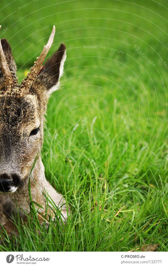 Thought heavy deer Roe deer Buck Even-toed ungulate Antlers Pelt Meadow Clearing Deerstalking Timidity Fear Hunter Stalking Mammal Feeble Capreolus capreolus