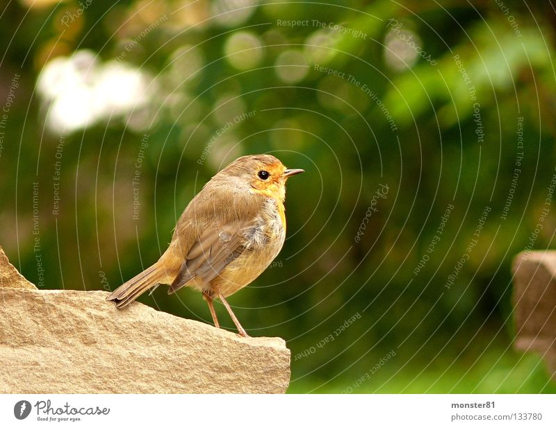Encounter in the garden Robin redbreast Wall (barrier) Curiosity Skeptical Calm Bird Garden Nature privacy