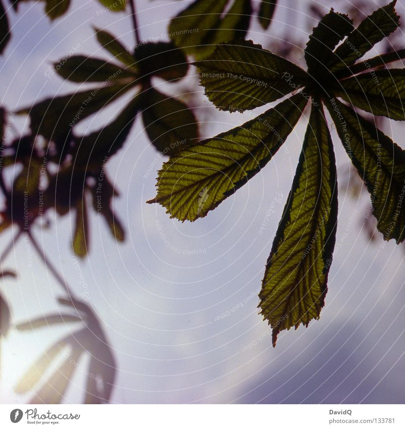 chestnut Leaf Spring Deploy Expel Growth Sprout Sunbeam Park Chestnut tree elongated-lanceolate spiky serrated Sky Nature