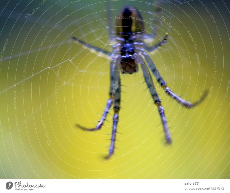 not closer! Nature Animal Wild animal Spider 1 Observe Touch Hang Crawl Wait Dark Disgust Creepy Hideous Small Near Thin Smart Brown Yellow Black Attentive