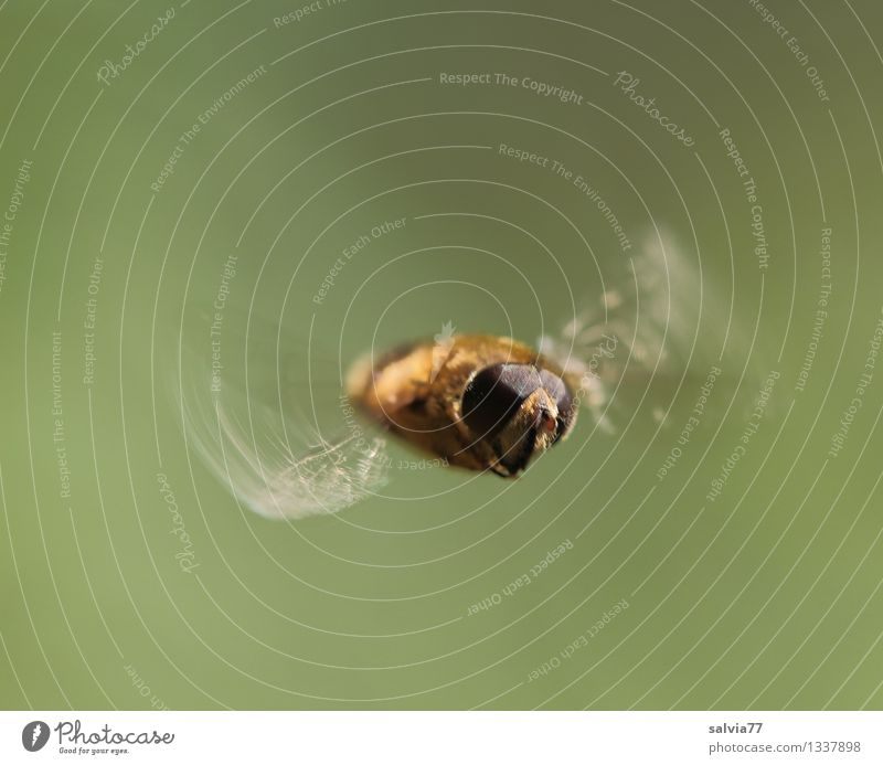 hover flight Nature Animal Fly Animal face Wing Drone fly Insect 1 Flying Free Small Athletic Brown Movement Speed Ease Hover Compound eye Endurance