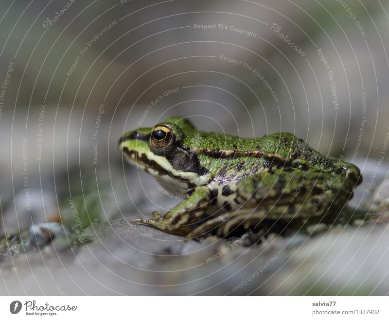 Place in the sun Nature Animal Water frog Pond Frog Amphibian 1 Observe To enjoy Sit Wait Cool (slang) Small Near Slimy Attentive Watchfulness Caution Patient