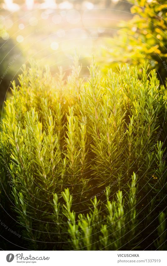 Rosemary in the garden. Food Herbs and spices Lifestyle Healthy Eating Summer Garden Nature Plant Sun Sunrise Sunset Sunlight Spring Autumn Beautiful weather