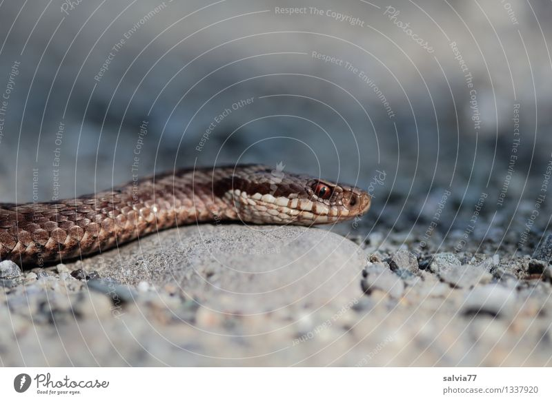 viper Environment Nature Animal Snake Adder Reptiles 1 Observe Threat Dark Exotic Astute Thin Brown Gray Scales Eyes Crawl Hunting Creep Dangerous