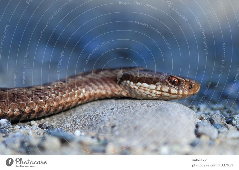 snake Environment Nature Animal Wild animal Snake Scales Adder Viper poisonous snake 1 Hunting Authentic Threat Dark Exotic Astute Thin Brown Gray Creep