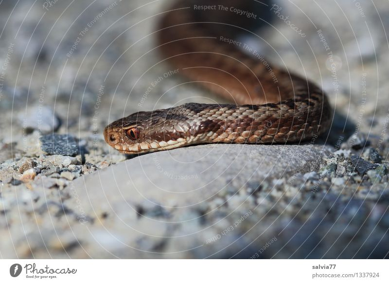 poisonous snake Environment Nature Animal Wild animal Snake Animal face Scales Adder Viper 1 Observe Movement Lateral fold lizards Crawl Hunting Pattern