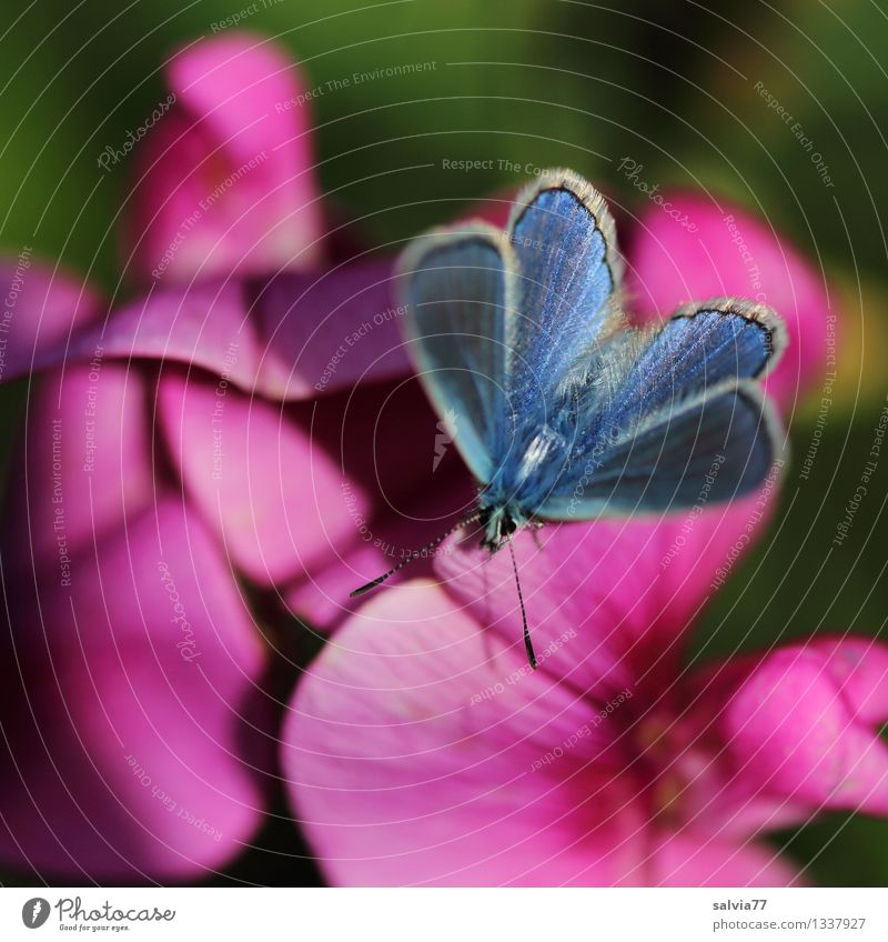 Blue in Pink Harmonious Well-being Senses Fragrance Nature Plant Animal Summer Flower Blossom Sweet pea Garden Wild animal Butterfly Wing Polyommatinae Insect 1