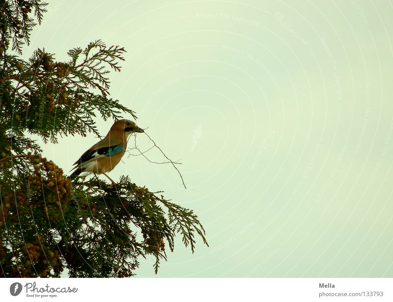 nesting instinct Environment Nature Plant Animal Tree Bushes Cypress Bird Jay 1 Build Crouch Looking Sit Carrying Natural Nest-building Colour photo