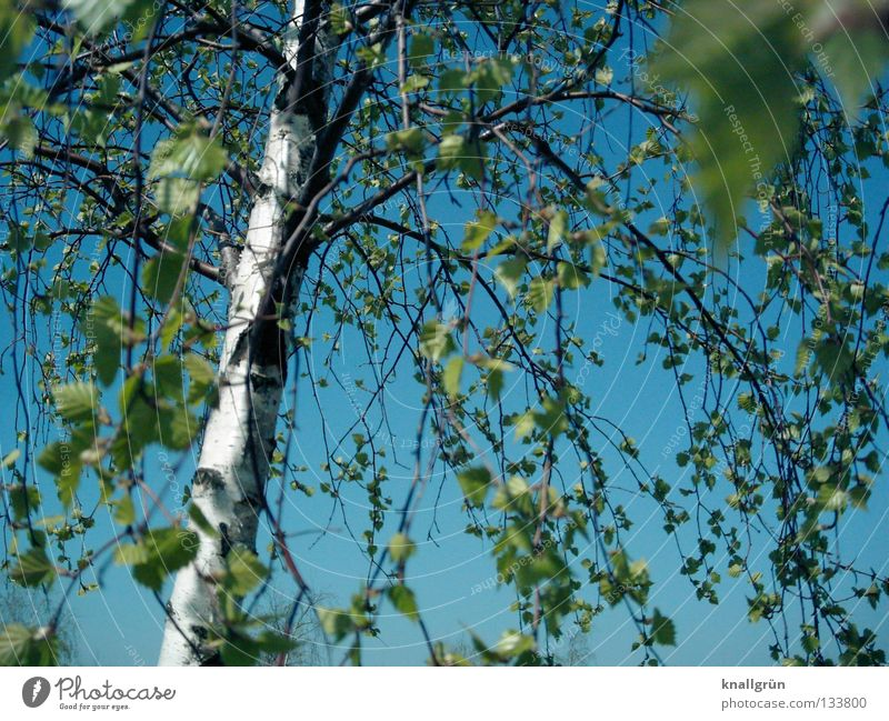 Sky blue with birch green Spring Summer Tree Birch tree Tree trunk Tree bark Leaf Light blue Bright green White Brown Alba white birch Branch Beautiful weather