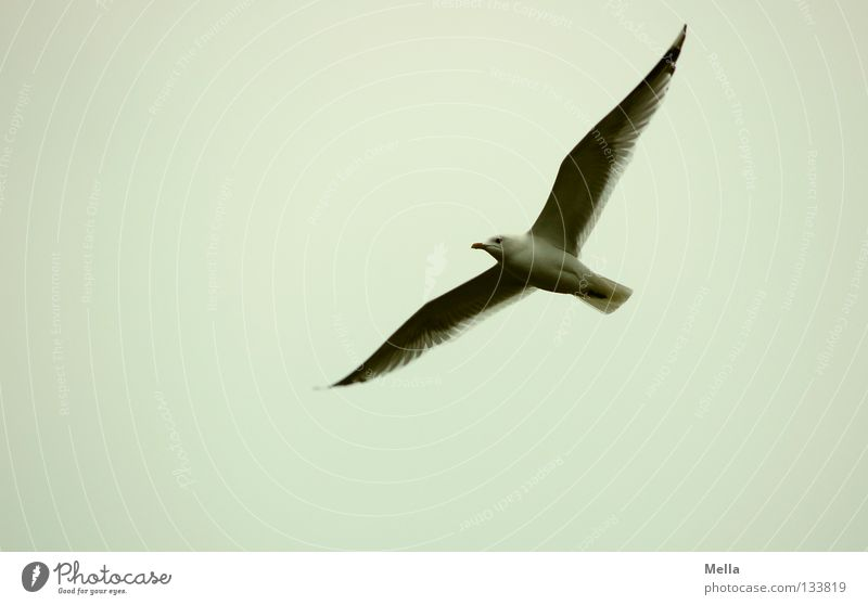 Fly, Jonathan! Environment Nature Animal Air Sky Bird Wing Seagull 1 Flying Free Natural Gray Freedom Colour photo Exterior shot Deserted Copy Space left Day