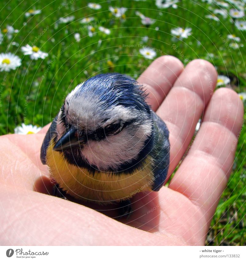 Nature Hand Blue White Black Animal Yellow Grass Small Bird Skin Sit Fingers Help Feather Cute
