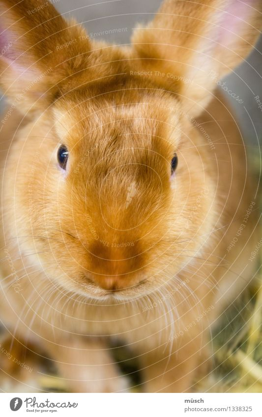 rabbit Animal Hare & Rabbit & Bunny Observe Cuddly Brown Trust Safety (feeling of) Love of animals Peaceful Fear Energy Threat Speed Infancy Teamwork Transience
