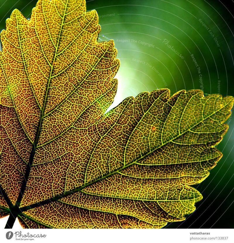 Green Leaf 2 Maple tree Nature Jump Design Macro (Extreme close-up) Close-up leaf God's colours