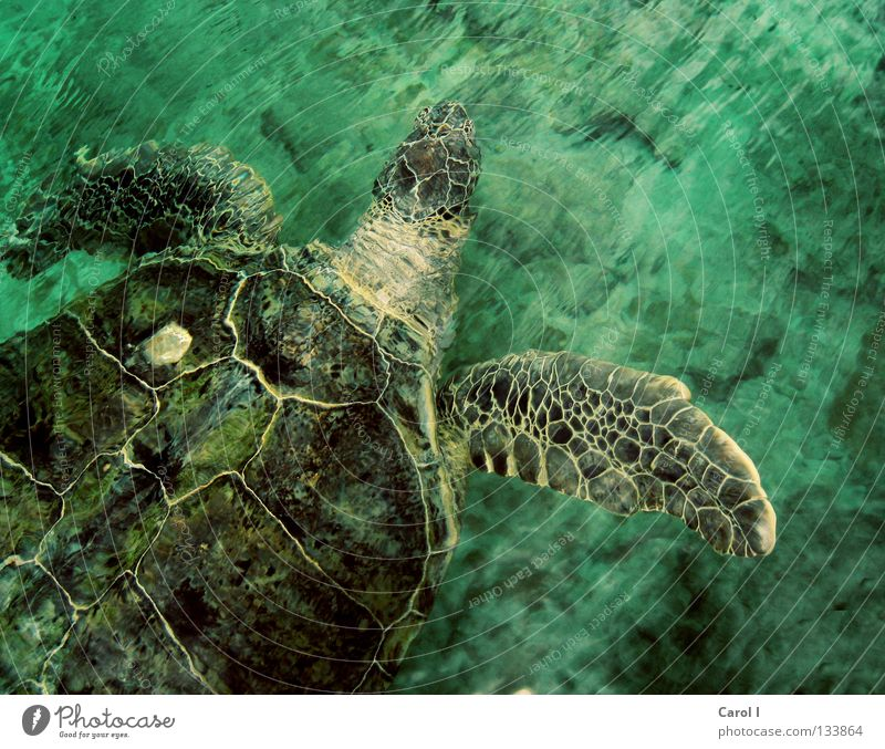 Hey, Dude! Turtle Turles Green Animal Old Dive Finding Nemo Pattern Waves Life Turquoise Cyan Underwater photo Undulating Speed Giant tortoise Reptiles