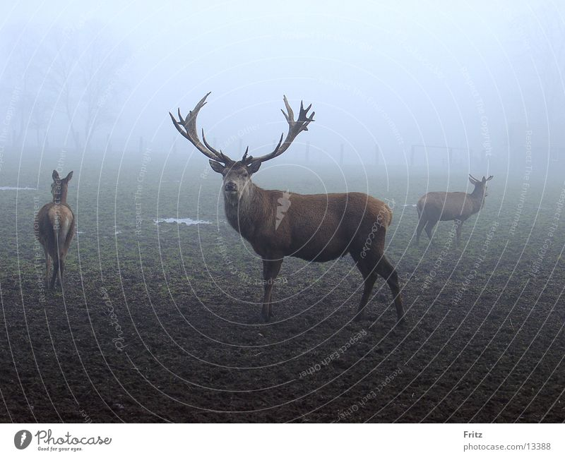 Autumn Fog Deer Animal Rutting season