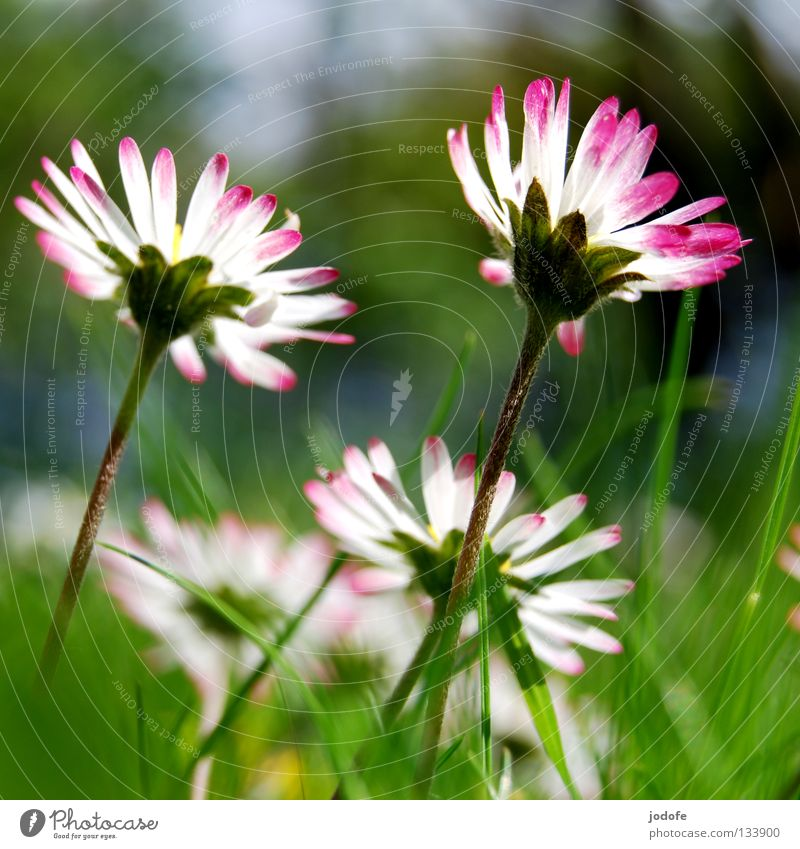 good morning sunshine Daisy Flower Blossom Grass Lighting Stand Blossoming Deploy White Pink Green Meadow Large Might Side by side 2 Together Spring Summer