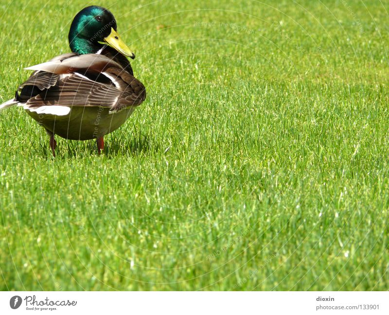what´s up? Mallard Bird Meadow Grass Domestic duck Squeak duck Downy feather Beak Drake Waddle Duck anatinae waterfowl goose birds Lawn wild swimming duck