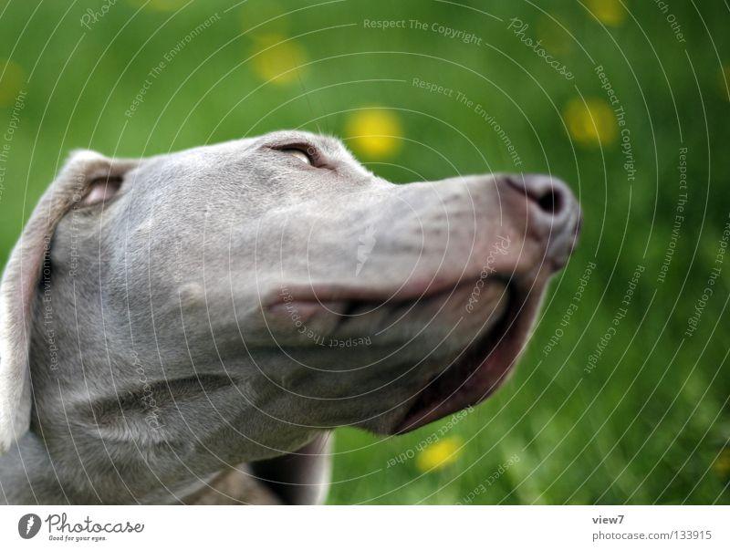 Colour Gray Dog Nose Animal face Pet Mammal Snout Hound Weimaraner Watchdog Dog's snout Dog's head Purebred dog