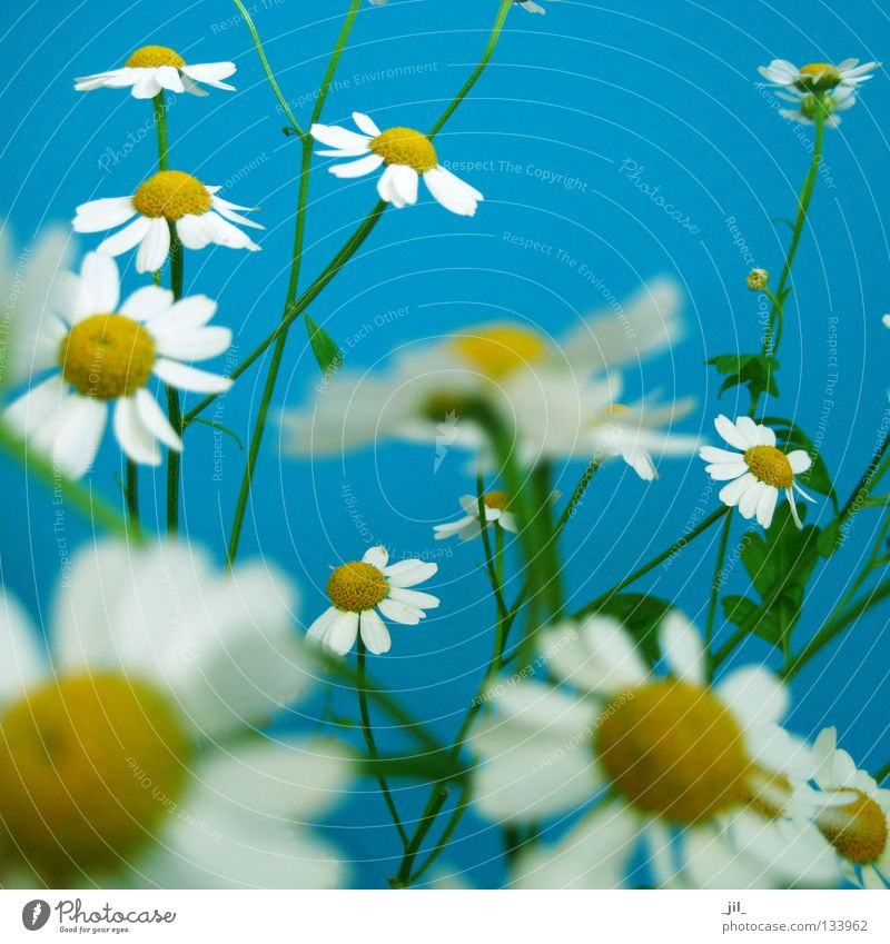 camomile Harmonious Well-being Summer Nature Plant Air Spring Flower Fresh Many Blue Yellow Green White Movement Chamomile Easy Fine Graceful Multiple