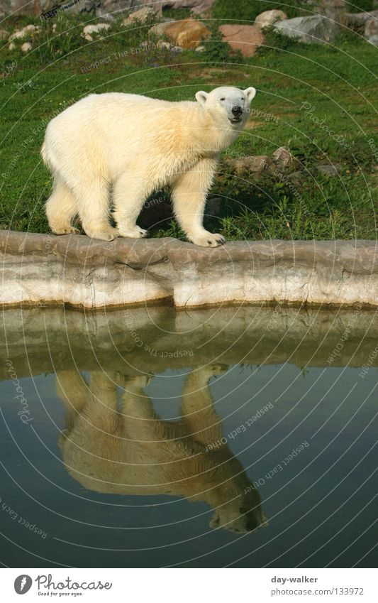 The narrow ridge Animal Polar Bear Zoo The Arctic North Pole Land-based carnivore Enclosure Reflection Captured Balance Pelt Pool border Wilderness Flake Mammal