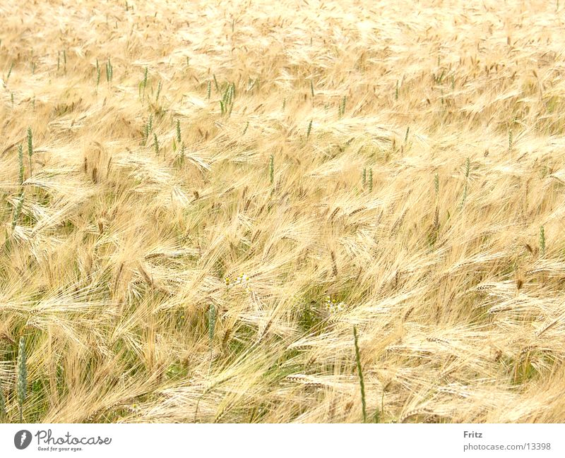 Summer Field Gold Grain