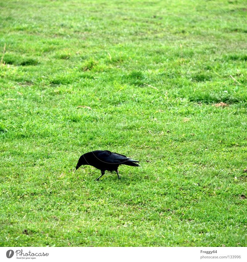 search for food Raven birds Bird Beak Black Green Grass Worm Feed Nutrition Search Find Meadow Enclosure Sky Wing Feather Food courtyard of the mouth