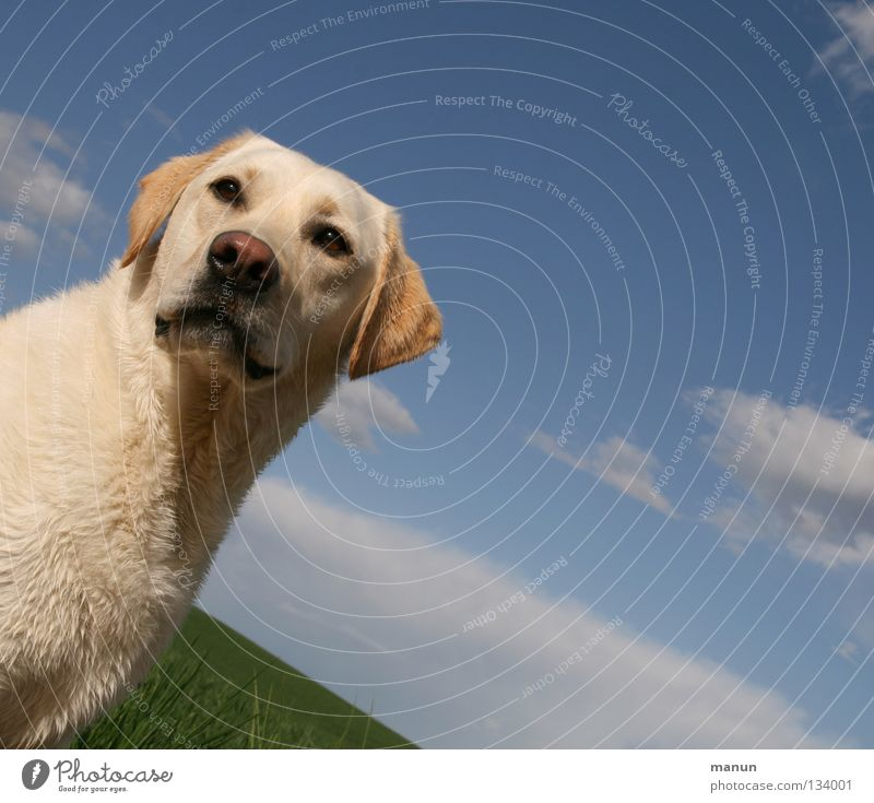 Sky Dog Green Beautiful Summer Animal Clouds Calm Yellow Meadow Hair and hairstyles Blonde Sweet Pelt Vantage point Friendliness