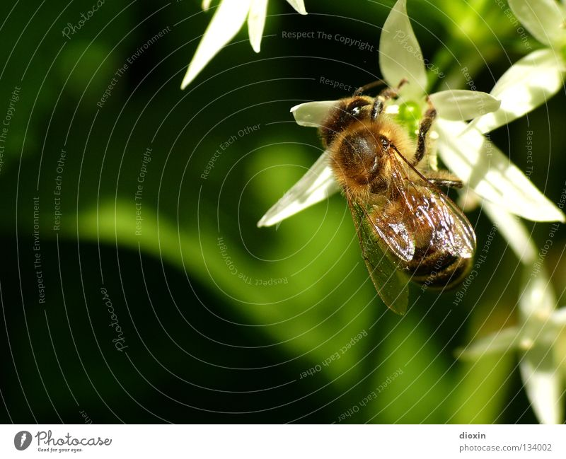 making of wood garlic-honey Summer Nutrition Spring Blossom Flying Blossoming Bee Insect Collection Calculation Pollen Honey Stamen Nectar Beehive Bee-keeper