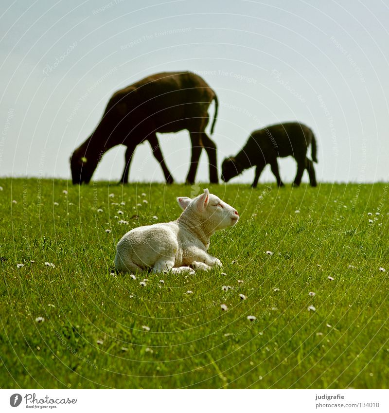 Sky Nature Animal Loneliness Colour Environment Meadow Nutrition Grass Small Idyll Kitsch Delicate North Sea Sheep Daisy