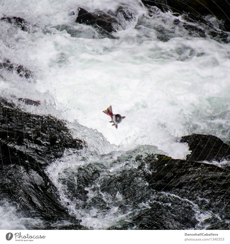 Coming home l The last journey Fishing (Angle) Vacation & Travel Trip Animal Brook River Waterfall Rapid Scales Salmon Jump Strong Bravery Power Willpower Death