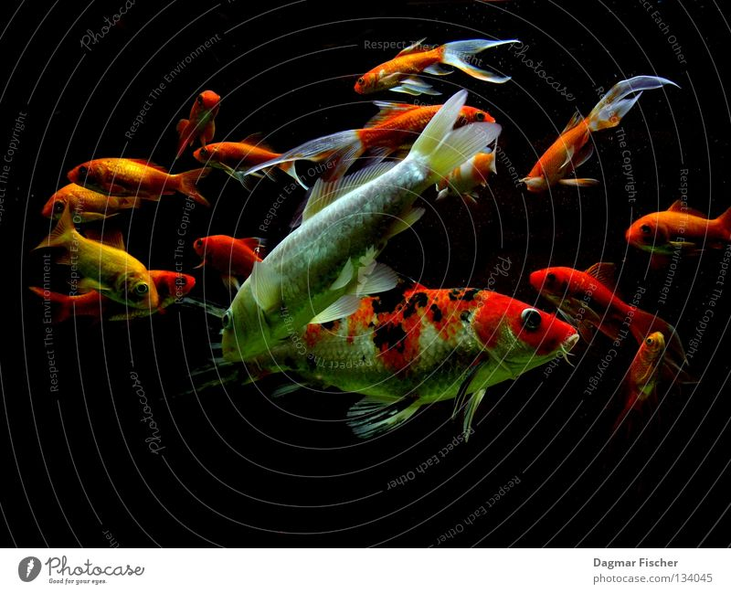 Water Red Ocean Animal Yellow Life Lake Friendship Underwater photo Together Orange Wet Gold Fish Multiple Leisure and hobbies